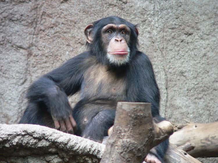 Travis The Chimpanzee Disfigured A Woman