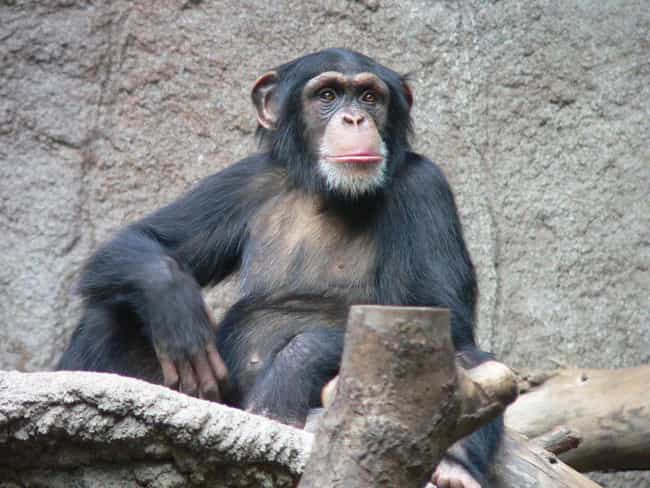 Travis The Chimpanzee Di... is listed (or ranked) 1 on the list 18 Terrifying Stories Of Pets Who Turned On Their Owners