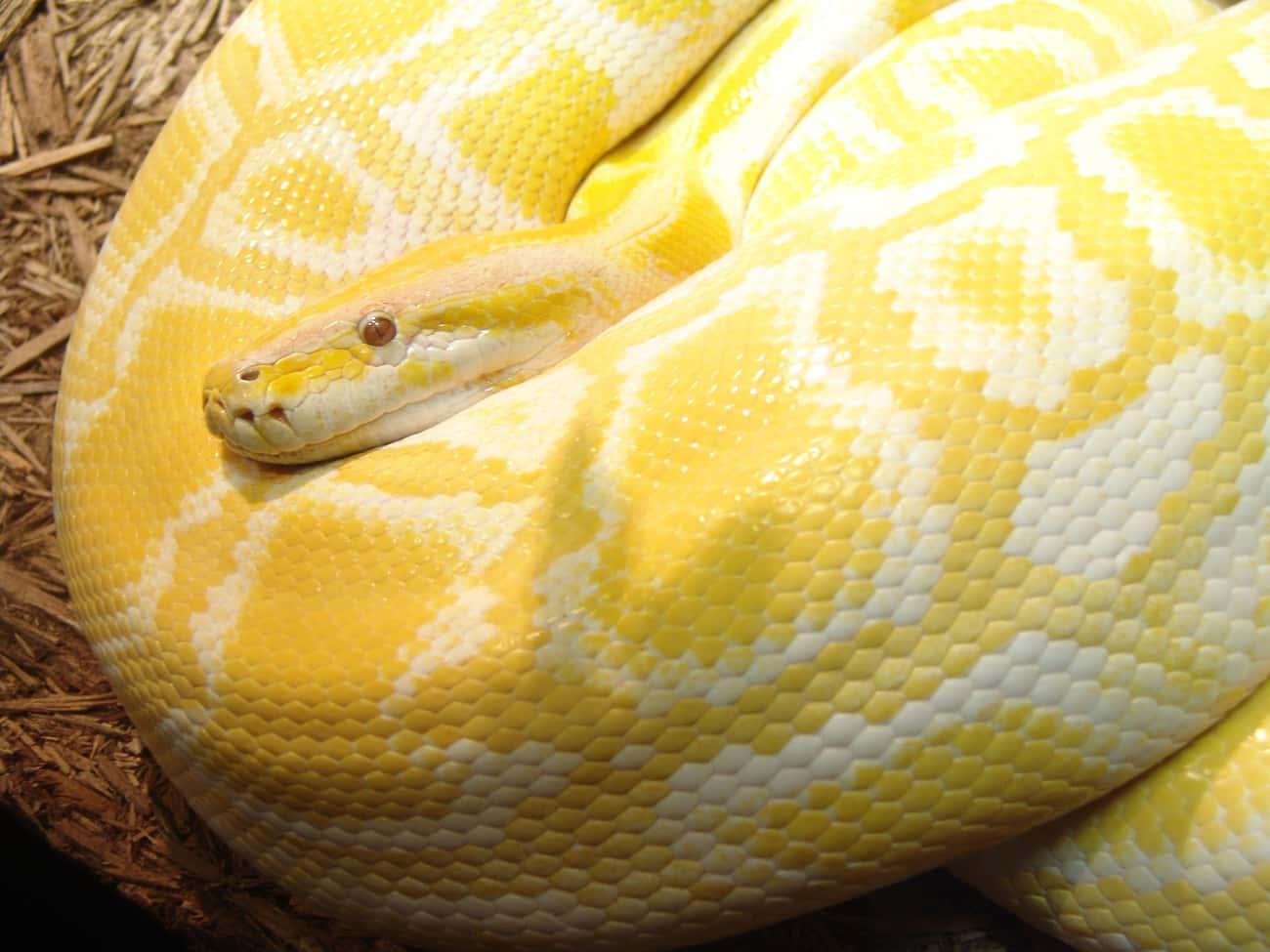 Gypsy The Burmese Python Strangled A Toddler