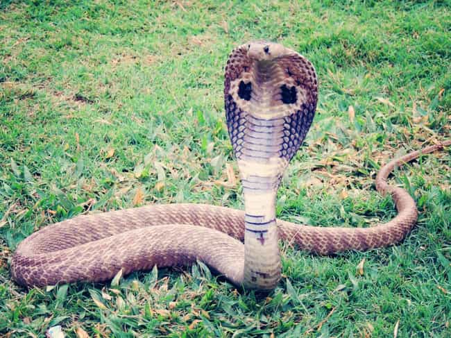 It's Venomous Snakes, Not ... is listed (or ranked) 1 on the list Fun Facts You Should Know About Snakes