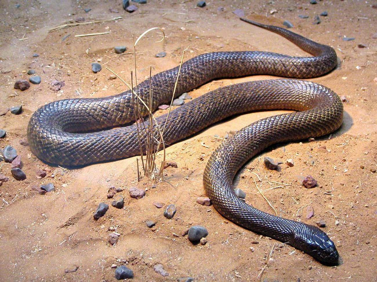 The Inland Taipan Is The Most  is listed (or ranked) 3 on the list Fun Facts You Should Know About Snakes