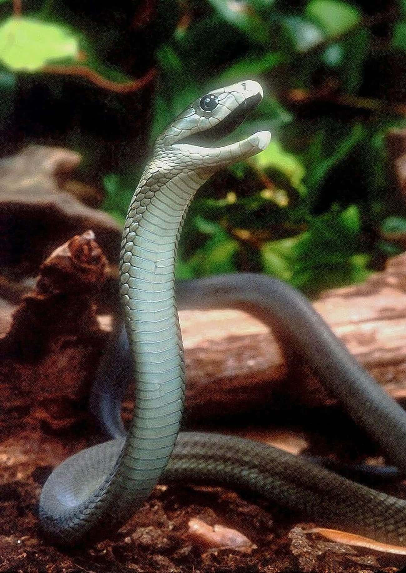 The Black Mamba Is The Most Da is listed (or ranked) 1 on the list Fun Facts You Should Know About Snakes
