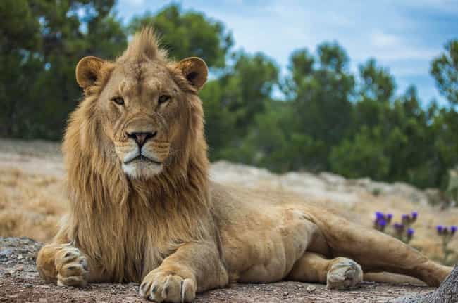 Three Lions Save Kidnapped Gir... is listed (or ranked) 1 on the list Helpful Animals Besides Dogs That Have Assisted the Cops