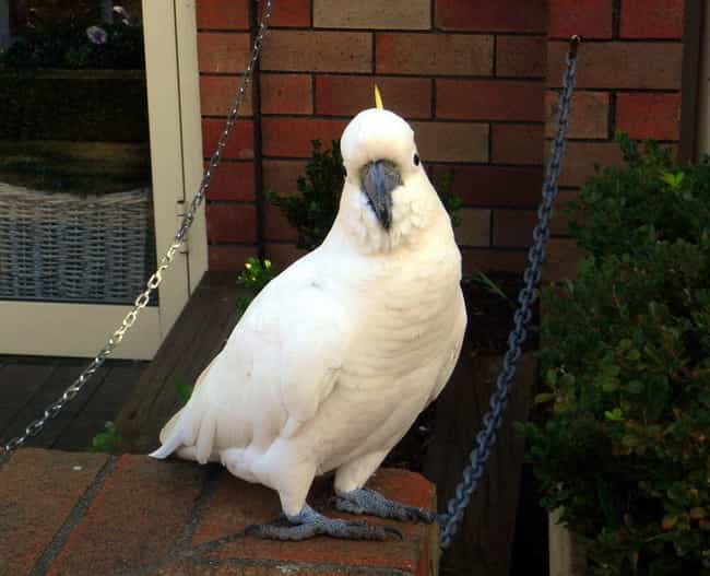 Cockatoo's Bloody Beak R... is listed (or ranked) 2 on the list Helpful Animals Besides Dogs That Have Assisted the Cops