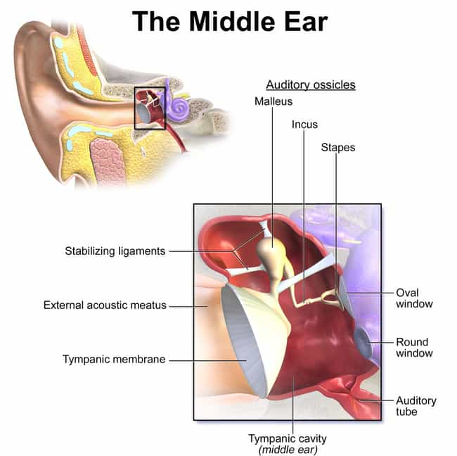 The Three Smallest Bones in th... is listed (or ranked) 3 on the list Sound, Ears, & Hearing: What's Really Going On?