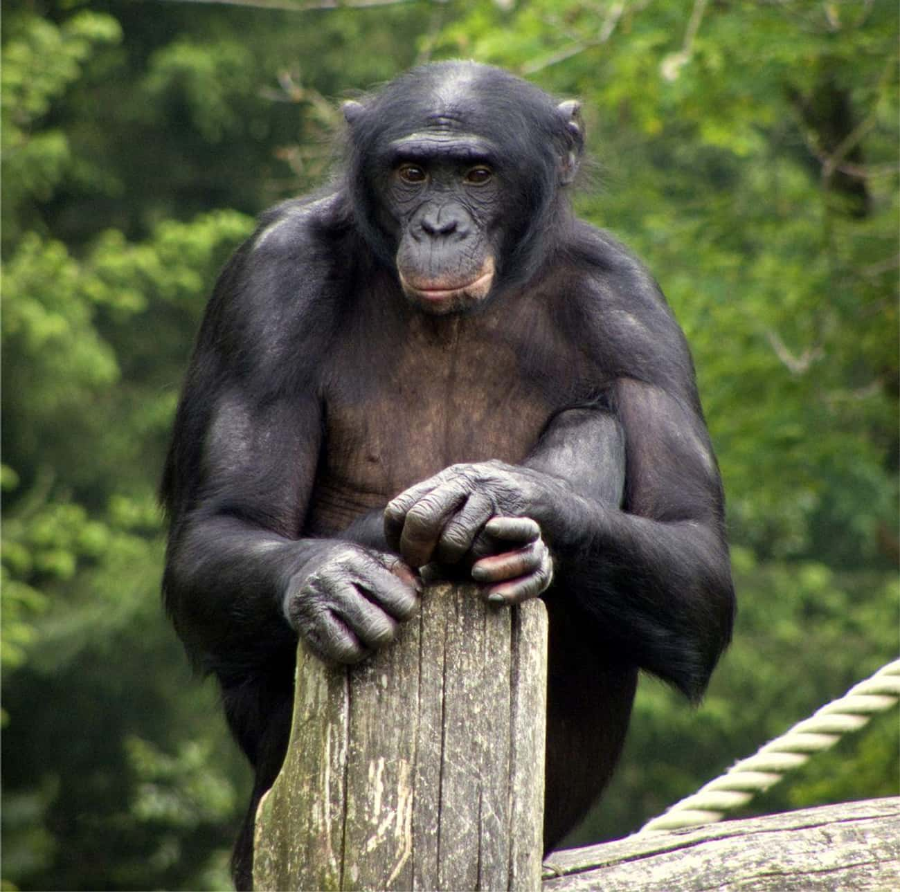 Bonobo Chimps Make Love, Not W is listed (or ranked) 2 on the list Fun Facts You Should Know About Apes