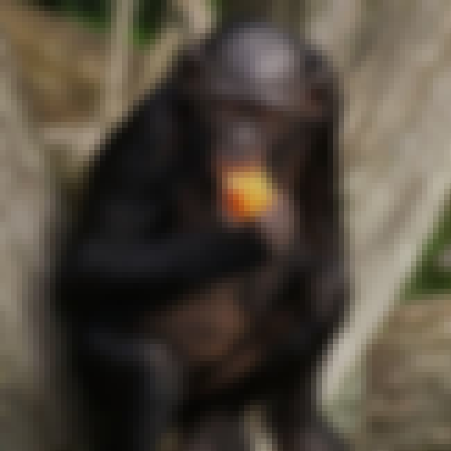 Bonobo Chimps Make Love, Not W... is listed (or ranked) 2 on the list Fun Facts You Should Know About Apes