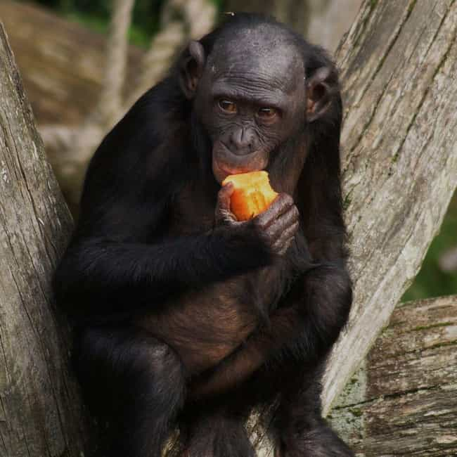 Bonobo Chimps Make Love,... is listed (or ranked) 2 on the list Fun Facts You Should Know About Apes