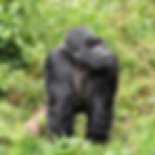 Humans Are Apes' Biggest Threa... is listed (or ranked) 3 on the list Fun Facts You Should Know About Apes