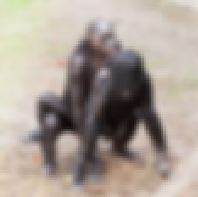 Apes Have Sex Face To Face is listed (or ranked) 3 on the list Fun Facts You Should Know About Apes