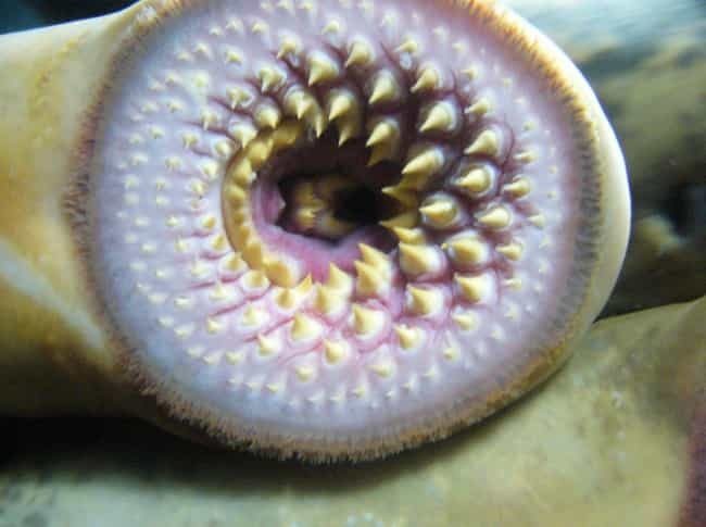 Lampreys is listed (or ranked) 2 on the list Real-Life Instances of Actual Vampires