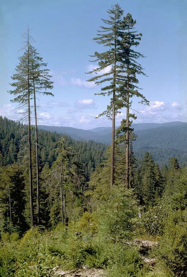 Hyperion, Tallest Tree in the ... is listed (or ranked) 3 on the list 19 Terrific Things You Didn't Know About Trees