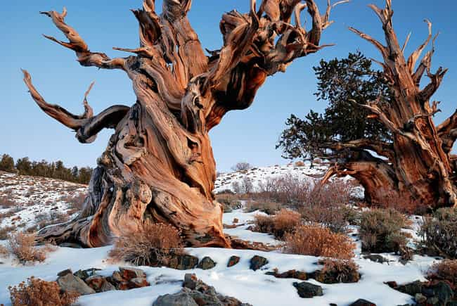 Methuselah Is The Oldest... is listed (or ranked) 1 on the list 19 Terrific Things You Didn't Know About Trees