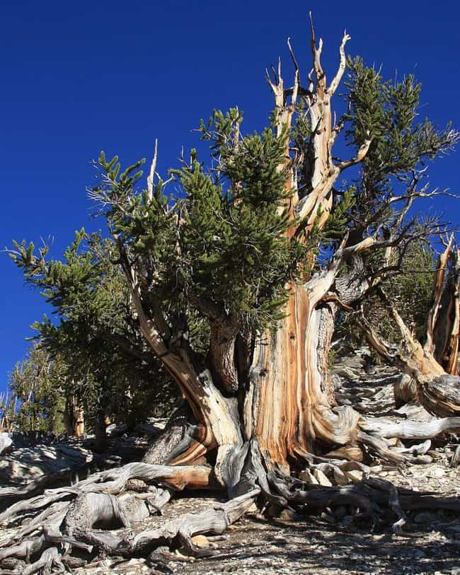 Methuselah, Oldest Tree in the... is listed (or ranked) 1 on the list 19 Terrific Things You Didn't Know About Trees