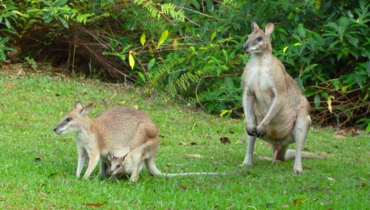 Stoned Wallabies Will Make Cro is listed (or ranked) 2 on the list 25 Fascinating Facts You Probably Never Learned About Marsupials
