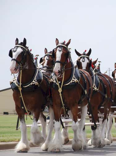 """The Budweiser Clydesdales Were a """"Prohibition Is Over!"""" Gift"""