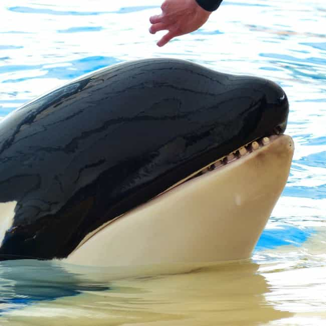 Sea World Killer Whale Death F... is listed (or ranked) 2 on the list The Holy Grails of Lost Media
