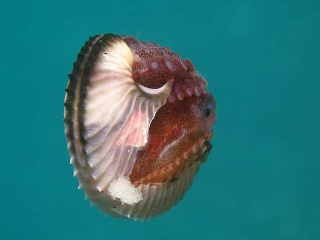 Argonaut Octopuses Have ... is listed (or ranked) 3 on the list 20 Bizarre Anatomical Features Of Common Animals