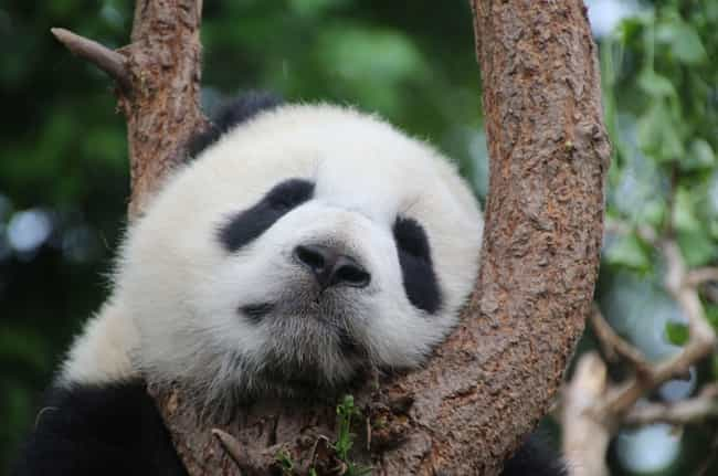 Pandas Used to Be Carniv... is listed (or ranked) 3 on the list Highly Evolved Facts About Evolution