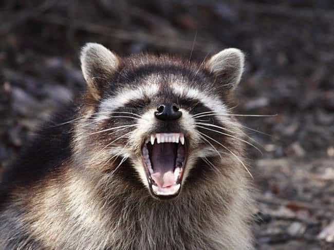 Rabid Raccoon Does Not Play is listed (or ranked) 2 on the list 19 Photos of Your Favorite Cute Animals Looking Terrifyingly Scary