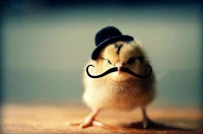 """I Mustache You a Question... is listed (or ranked) 2 on the list Birds All Decked Out in Adorable Hats"