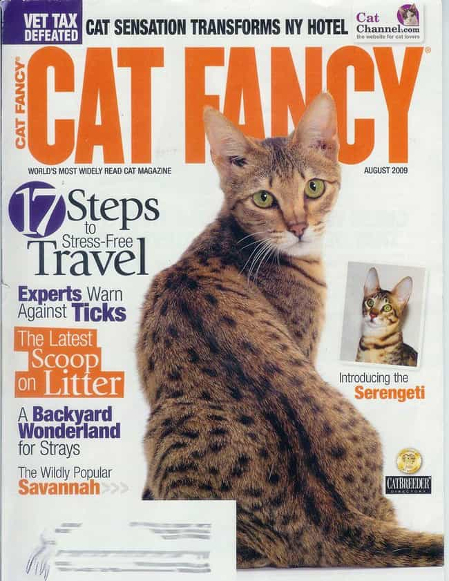 Cheetah Kitteh Knows How to Po... is listed (or ranked) 2 on the list The Most Regal Felines from the Cover of Cat Fancy
