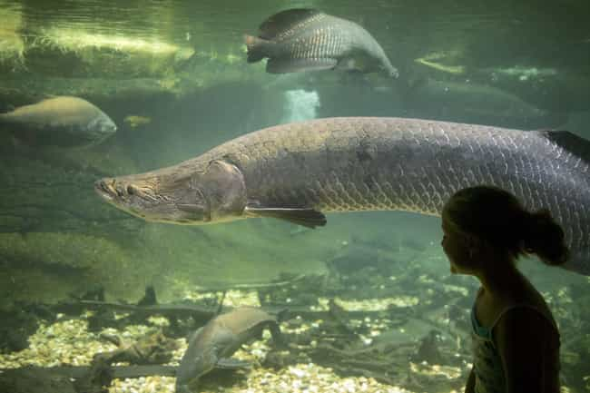 A 10-Foot Fish is listed (or ranked) 1 on the list 11 Crazy, Creepy Things People Have Found In Rivers (Some On A Daily Basis)