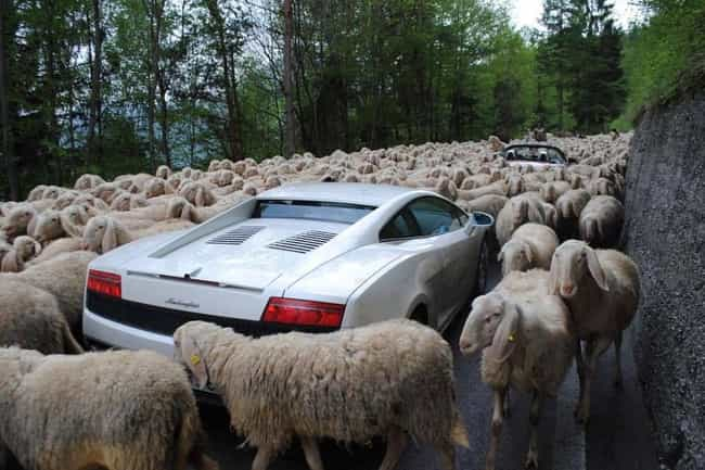 Counting Sheep is listed (or ranked) 4 on the list The Funniest Traffic Jam Photos Ever