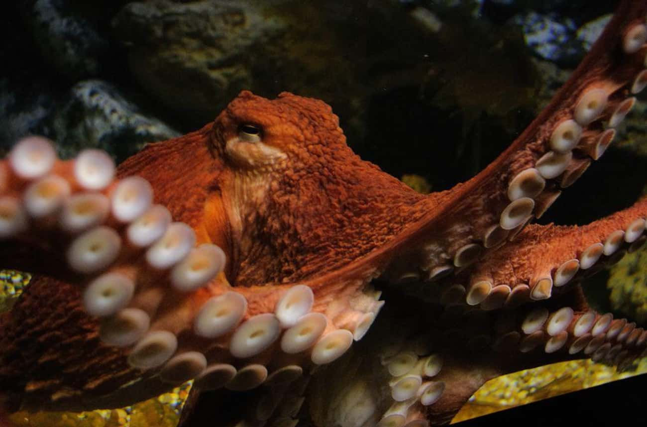 It Sometimes Ends In Cannibali is listed (or ranked) 2 on the list 12 Strange Things You Probably Didn't Know About Octopus Mating