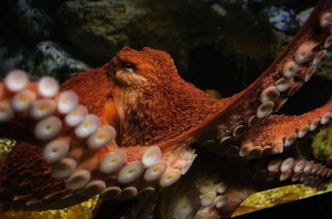 Sex Sometimes Ends in Cannabil... is listed (or ranked) 2 on the list Everything You Ever Wanted to Know About Octopus Sex