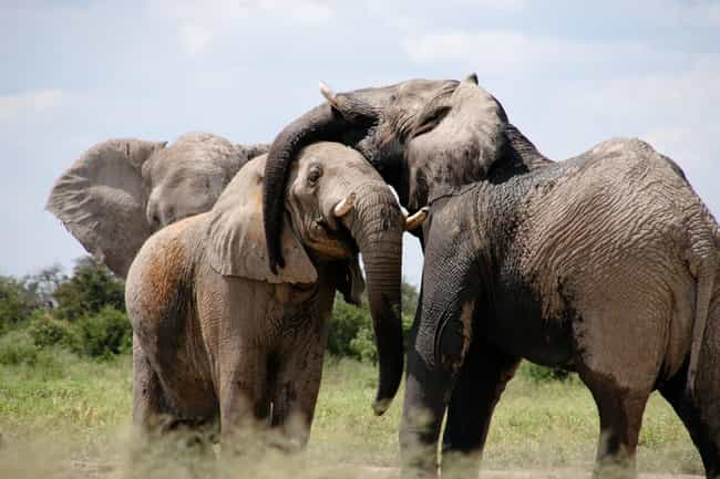 Males Are the Romantics is listed (or ranked) 2 on the list Fascinating Answers to All Your Questions About How Elephant Sex Works
