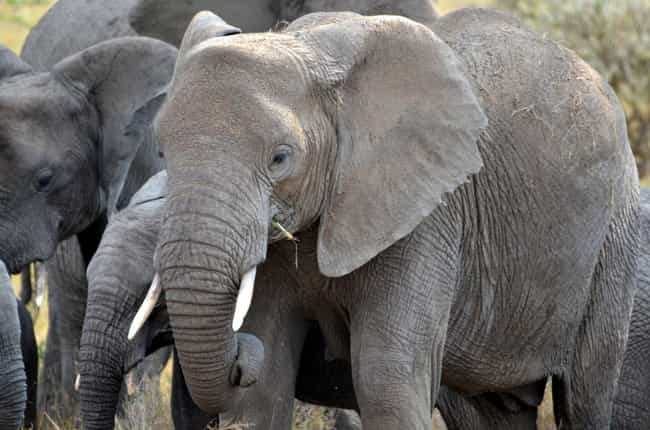 Elephants Hold the Record for ... is listed (or ranked) 3 on the list Fascinating Answers to All Your Questions About How Elephant Sex Works