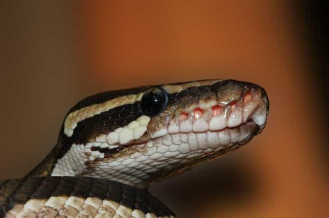 Snake's Alive is listed (or ranked) 3 on the list Crazy Backstories and Theories About El Chupacabra