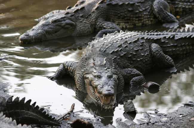 They Used Crocodile Dung And A... is listed (or ranked) 2 on the list 13 Fascinating Facts About Sex In Ancient Egypt