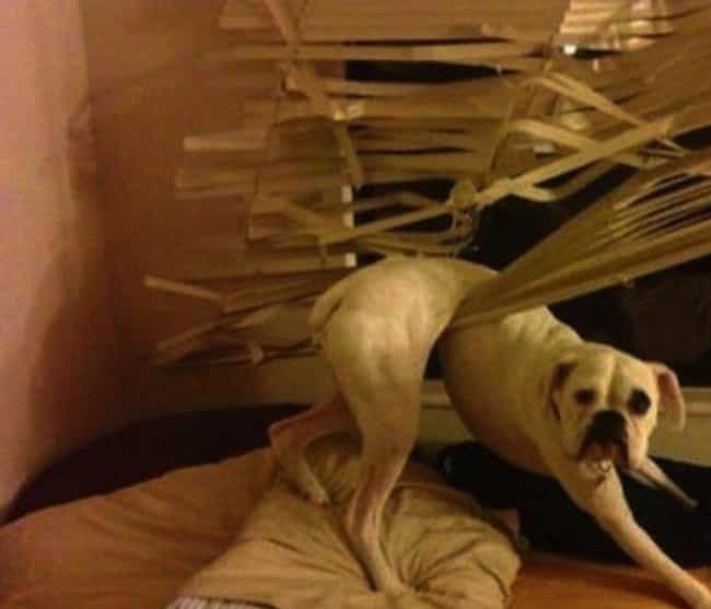 Blinds Justice is listed (or ranked) 4 on the list 29 Guilty Dogs Who Were Totally Caught in the Act