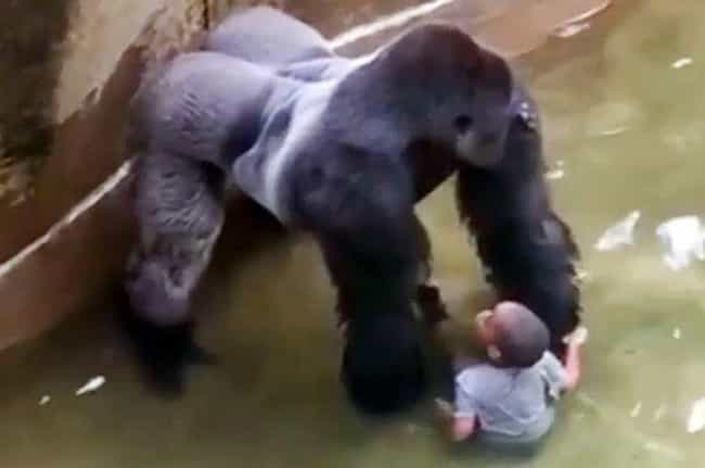 Harambe Gets Taken Out To Save... is listed (or ranked) 2 on the list The Worst Things That Have Ever Happened at Zoos
