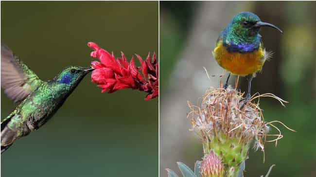 Hummingbird and Sunbird is listed (or ranked) 3 on the list 15 Geographically Distant Animal Pairs That Are Weirdly Similar