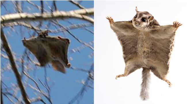 Flying Squirrel and Sugar Glid... is listed (or ranked) 1 on the list 15 Geographically Distant Animal Pairs That Are Weirdly Similar