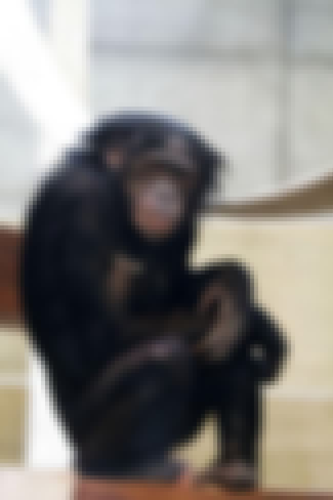 Bonobos Do It Face-to-Face is listed (or ranked) 2 on the list Strange Facts You Can't Unlearn About Primate Sex