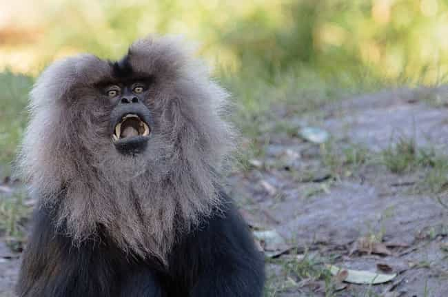 Male Barbary Macaques Are Into... is listed (or ranked) 3 on the list Strange Facts You Can't Unlearn About Primate Sex