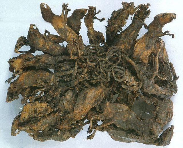 Random Gross But Fascinating Facts About Rat Kings