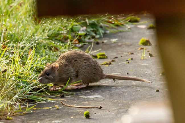 Rat Kings May Not Be Phy... is listed (or ranked) 7 on the list 21 Gross But Fascinating Facts About Rat Kings
