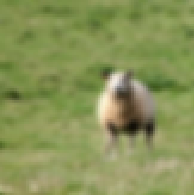 Sheep Enjoys a Nice Afternoon ... is listed (or ranked) 1 on the list The Wackiest Stories of Wild Animals on the Loose