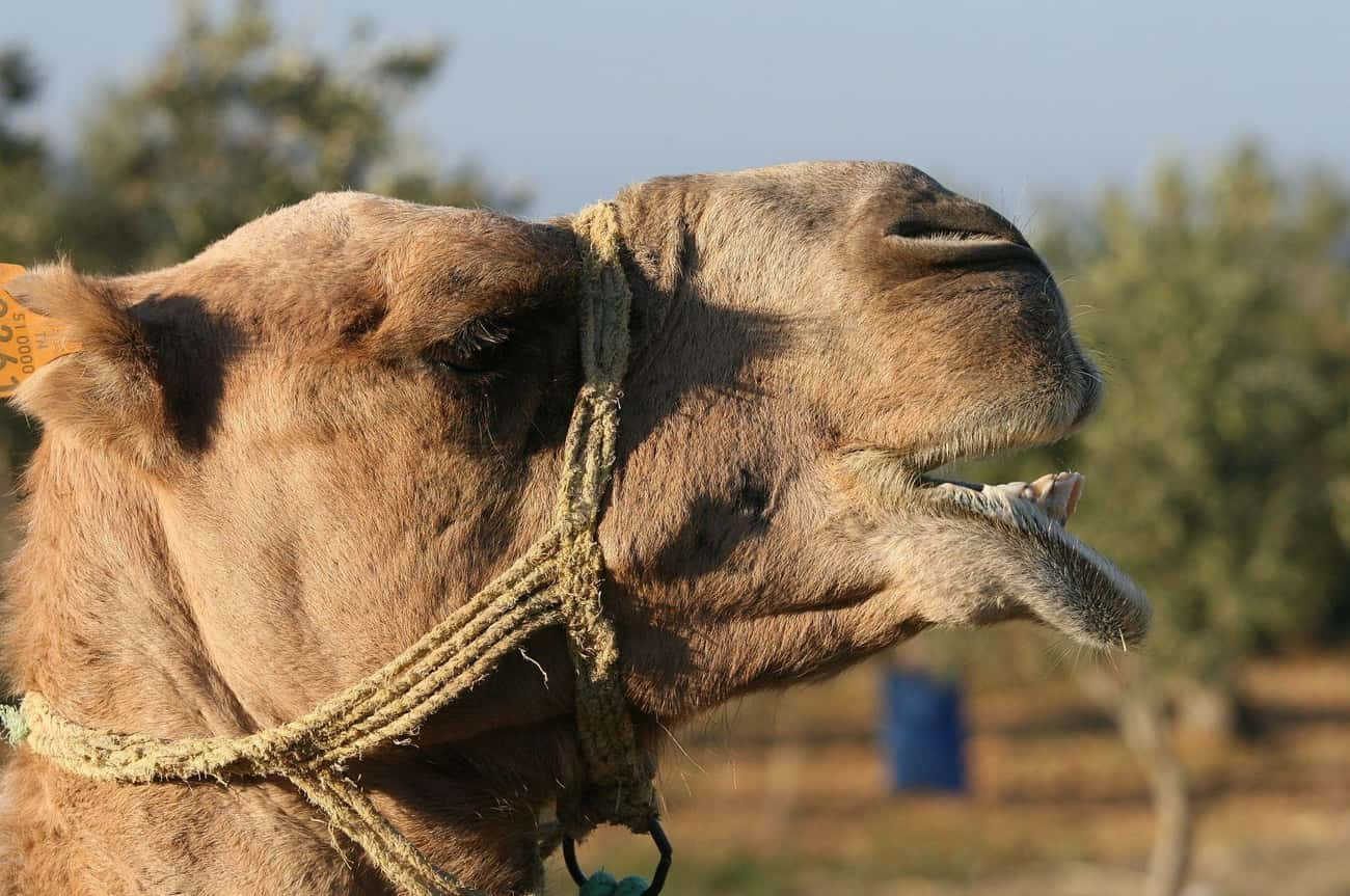 A Camel Caused a 40-Year War is listed (or ranked) 3 on the list The Most WTF, Trivial Things Countries Have Fought Over