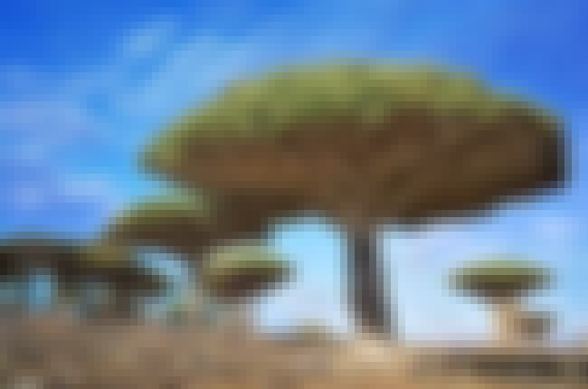 Dragonblood Trees in Yemen is listed (or ranked) 1 on the list 28 Incredibly Unique Trees from Around the World