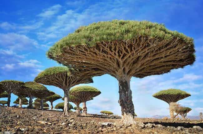 Dragonblood Trees in Yem... is listed (or ranked) 3 on the list 28 Incredibly Unique Trees from Around the World