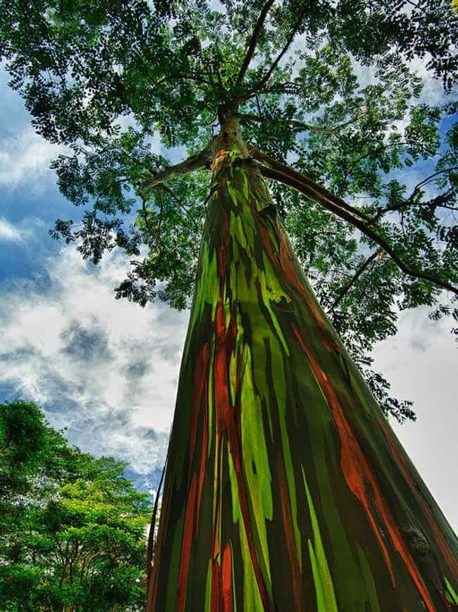 Rainbow Euccalyptus in K... is listed (or ranked) 4 on the list 28 Incredibly Unique Trees from Around the World