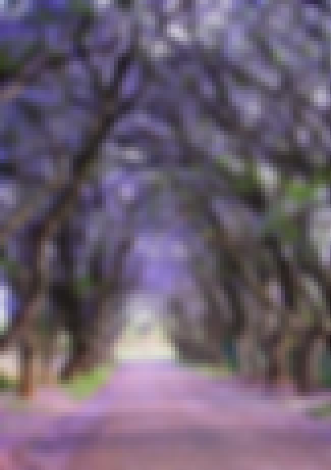 Jacaranda Trees in Cullinan, S... is listed (or ranked) 4 on the list 28 Incredibly Unique Trees from Around the World