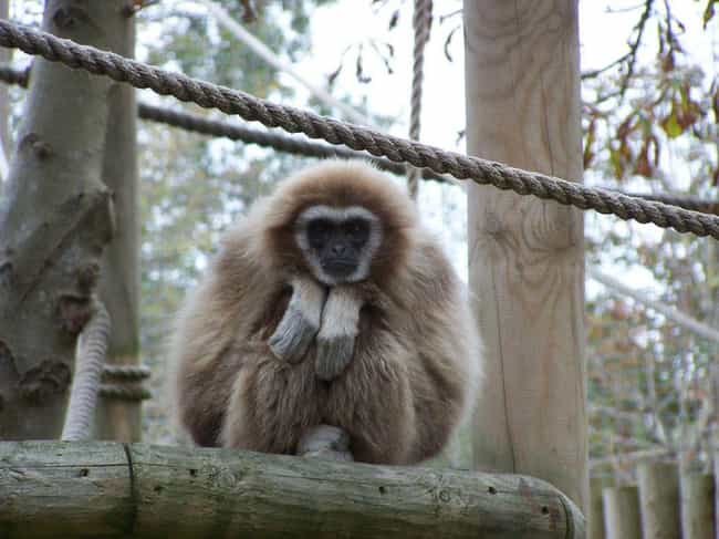 A Trespassing Monkey Was Suspe... is listed (or ranked) 4 on the list 12 Animals That Have Been Arrested or Suspected of Crimes