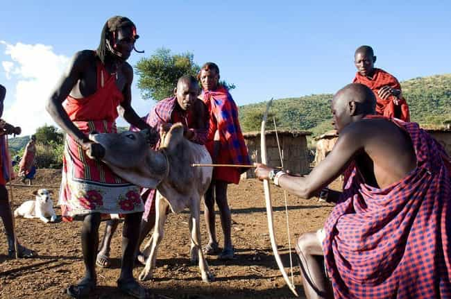 The Maasai Believe in Drinking... is listed (or ranked) 3 on the list 16 Weird Ways People Eat Blood Around the World